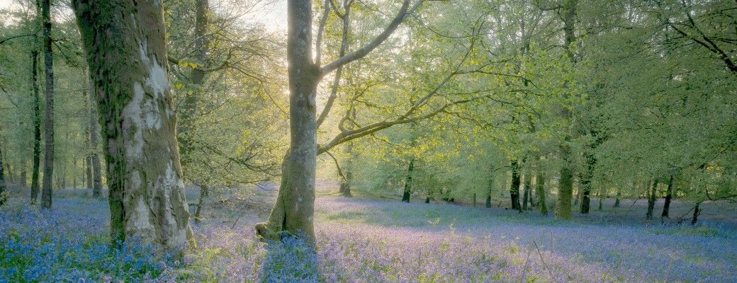 Bluebells in a woods